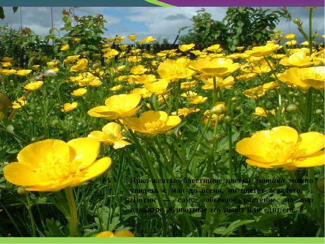 Ярко-желтые блестящие цветки лютика можно увидеть с мая до осени, он цветет...