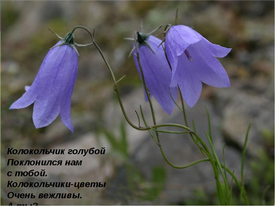 Колокольчик голубой Поклонился нам стобой. Колокольчики-цветы Очень вежливы....