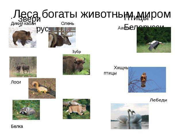 Леса богаты животным миром Звери белорусского леса Дикий кабан Олень благород...
