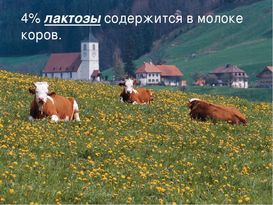 4% лактозы содержится в молоке коров.