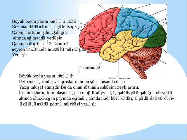 Böyük beyin yarım kürələri üzəri Boz maddədən əmələ gəlmiş qırışlı Qabıqla ör...