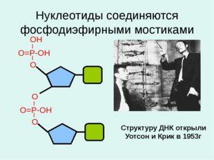 Нуклеотиды соединяются фосфодиэфирными мостиками Структуру ДНК открыли Уотсон
