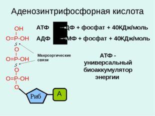Аденозинтрифосфорная кислота Макроэргические связи АТФ АДФ + фосфат + 40КДж/м