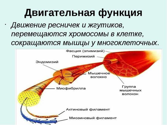 Двигательная функция Движение ресничек и жгутиков, перемещаются хромосомы в к...