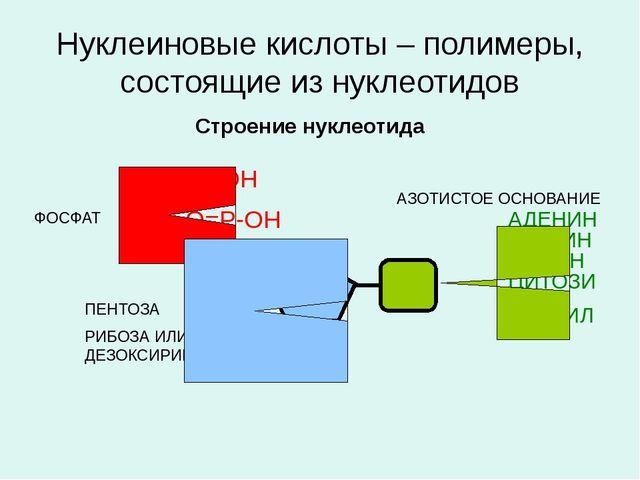 Нуклеиновые кислоты – полимеры, состоящие из нуклеотидов Строение нуклеотида...