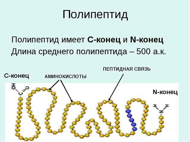 Полипептид Полипептид имеет С-конец и N-конец Длина среднего полипептида – 50...
