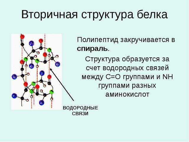 Вторичная структура белка Полипептид закручивается в спираль. Структура образ...