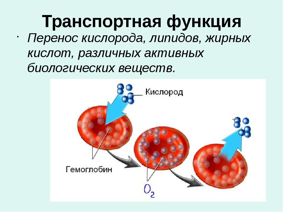 Транспортная функция Перенос кислорода, липидов, жирных кислот, различных акт...