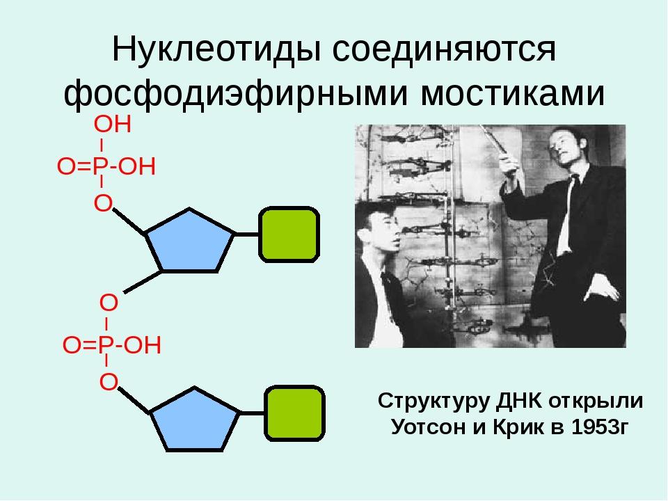 Нуклеотиды соединяются фосфодиэфирными мостиками Структуру ДНК открыли Уотсон...