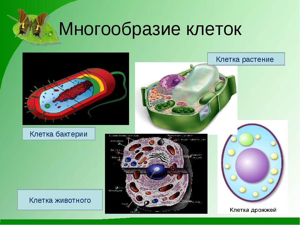 Многообразие клеток Клетка растение Клетка бактерии Клетка животного