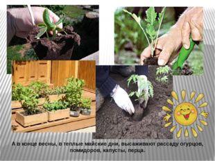 А в конце весны, в теплые майские дни, высаживают рассаду огурцов, помидоров,