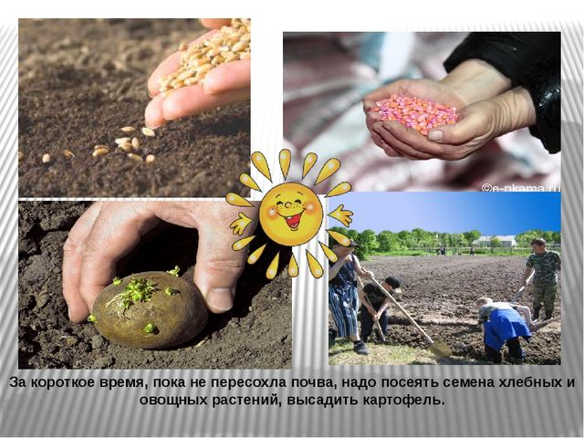 За короткое время, пока не пересохла почва, надо посеять семена хлебных и ово...