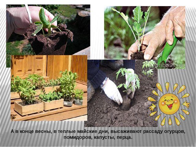 А в конце весны, в теплые майские дни, высаживают рассаду огурцов, помидоров,...