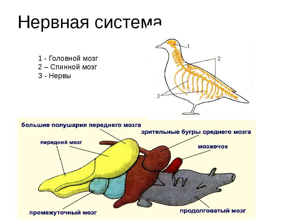 это система головного мозга у птицы картинки нас тоже