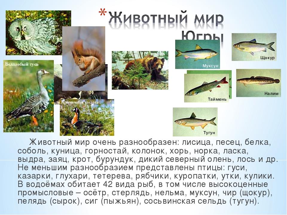 Животный мир очень разнообразен: лисица, песец, белка, соболь, куница, горнос...