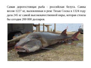 Самая дорогостоящая рыба - российская белуга. Самка весом 1227 кг, выловленна