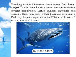 Самой крупной рыбой названа китовая акула. Она обитает в водах Тихого, Индийс