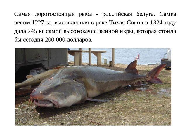 Самая дорогостоящая рыба - российская белуга. Самка весом 1227 кг, выловленна...