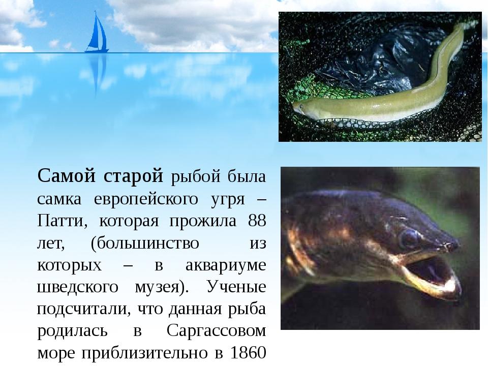Самой старой рыбой была самка европейского угря – Патти, которая прожила 88 л...