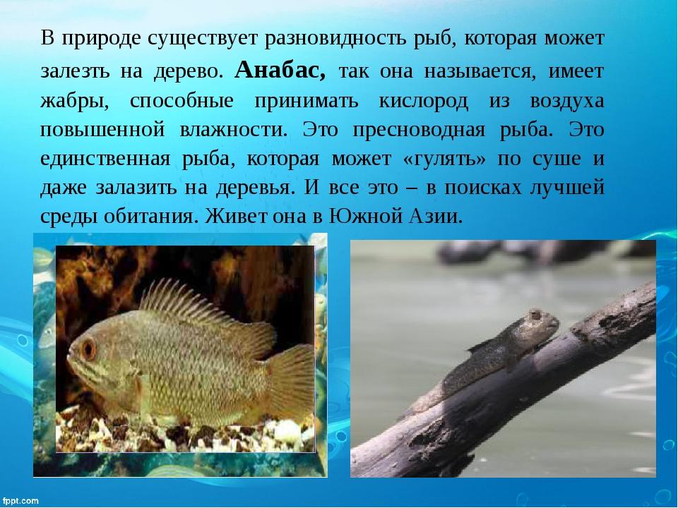 В природе существует разновидность рыб, которая может залезть на дерево. Анаб...