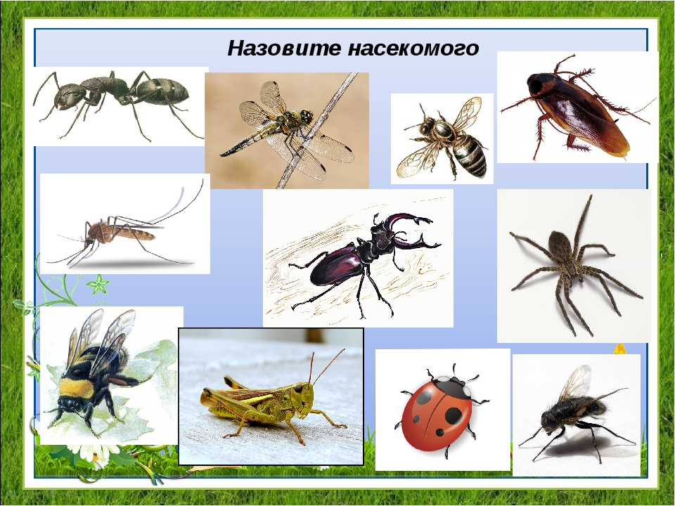 Назовите насекомого