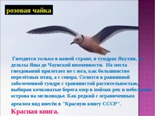 розовая чайка Гнездится только в нашей стране, в тундрах Якутии, от дельты Ян