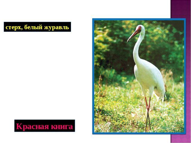 стерх, белый журавль Красная книга