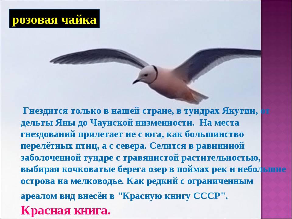 розовая чайка Гнездится только в нашей стране, в тундрах Якутии, от дельты Ян...