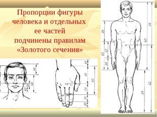 Пропорции фигуры человека и отдельных ее частей подчинены правилам «Золотого