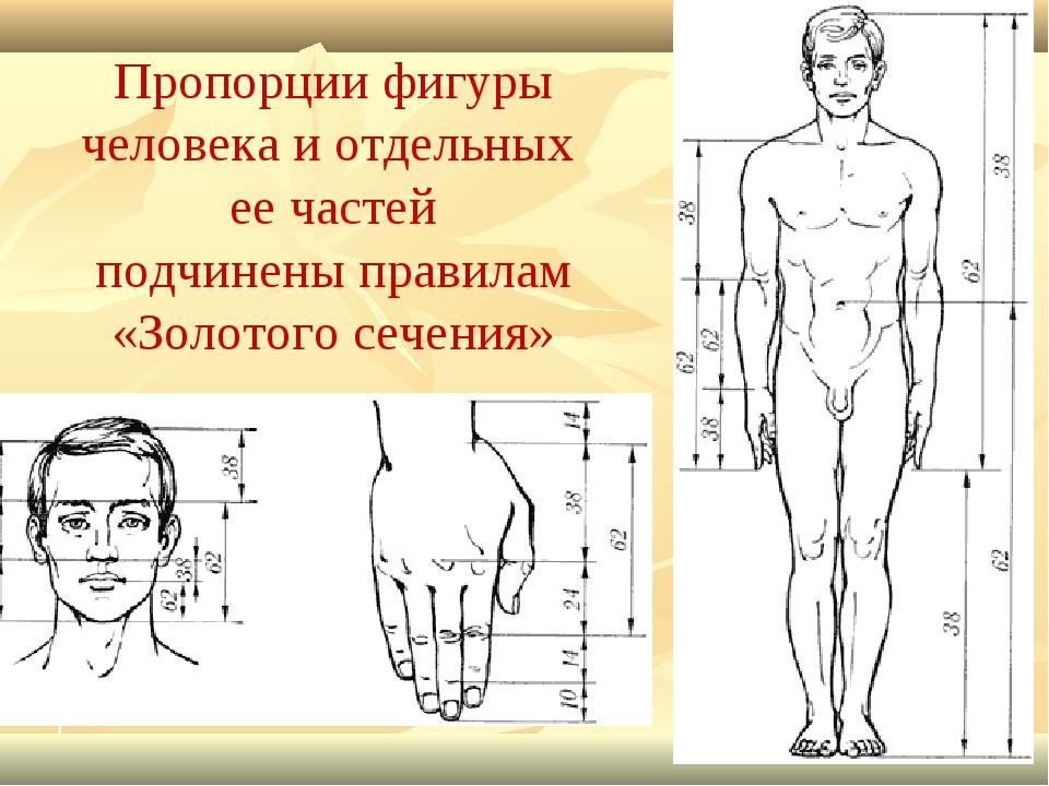 Пропорции фигуры человека и отдельных ее частей подчинены правилам «Золотого...