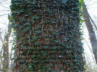 Корни - прицепки У плюща развиваются придаточные корни- прицепки, Ими растени