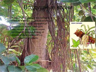 Воздушные корни У растений, живущих как орхидеи, на стволах и ветвях деревьев
