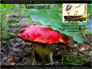 микориза Некоторые корни выполняют особые функции, в связи с чем меняется их
