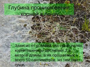 Глубина проникновения корней в почву Зависит от условий. На сухих полях корни
