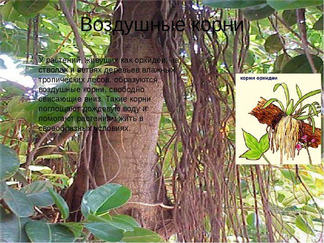 Воздушные корни У растений, живущих как орхидеи, на стволах и ветвях деревьев...