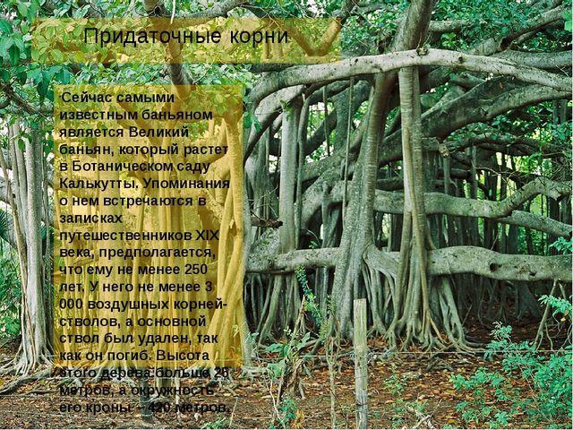 Придаточные корни Сейчас самыми известным баньяном является Великий баньян, к...