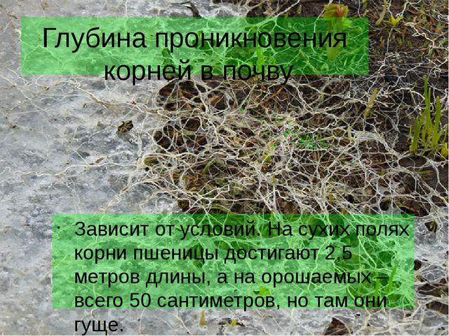 Глубина проникновения корней в почву Зависит от условий. На сухих полях корни...
