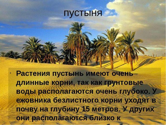 пустыня Растения пустынь имеют очень длинные корни, так как грунтовые воды ра...