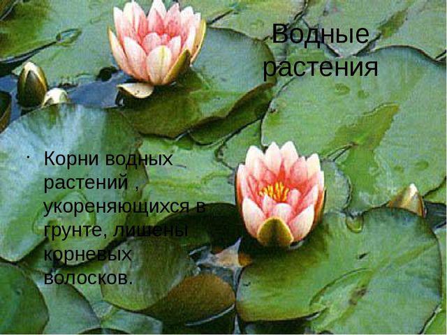 Водные растения Корни водных растений , укореняющихся в грунте, лишены корнев...