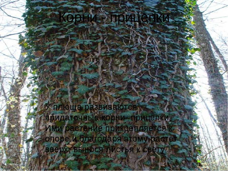 Корни - прицепки У плюща развиваются придаточные корни- прицепки, Ими растени...