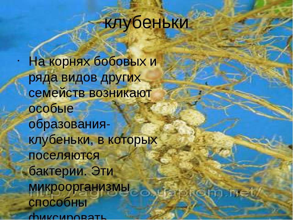 клубеньки На корнях бобовых и ряда видов других семейств возникают особые обр...