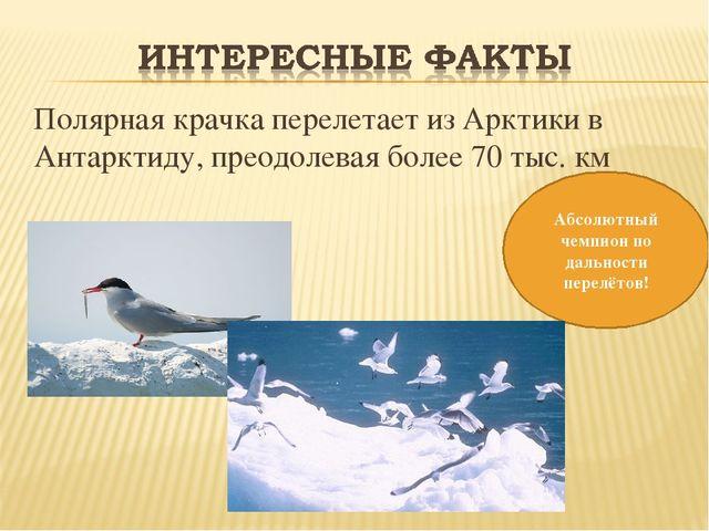 Полярная крачка перелетает из Арктики в Антарктиду, преодолевая более 70 тыс...