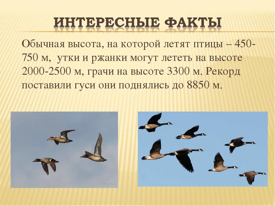 Обычная высота, на которой летят птицы – 450-750 м, утки и ржанки могут лете...