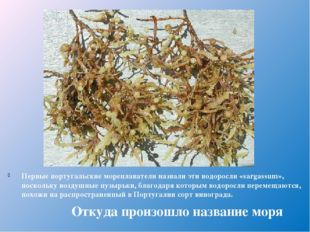 Первые португальские мореплаватели назвали эти водоросли «sargassum», посколь