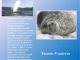 Киты итюлени— главные представители фауны моря Уэдделла. Самый распростране
