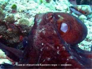 Один из обитателей Красного моря — осьминог.