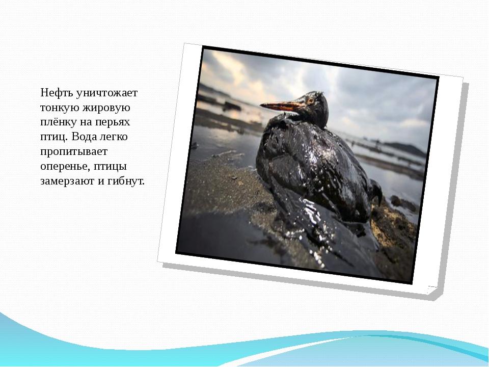 Нефть уничтожает тонкую жировую плёнку на перьях птиц. Вода легко пропитывает...