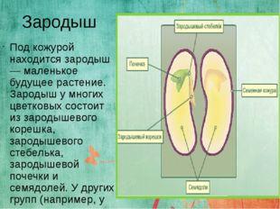 Зародыш Под кожурой находится зародыш — маленькое будущее растение. Зародыш у