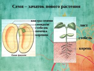 Семя – зачаток нового растения лист стебель корень кожура семени семядоли сте
