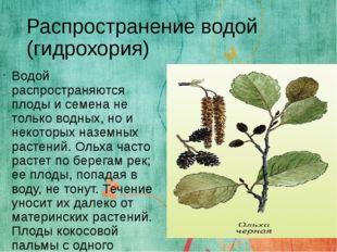 Распространение водой (гидрохория) Водой распространяются плоды и семена не т